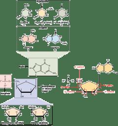 diagram of nucleoside [ 1117 x 1105 Pixel ]