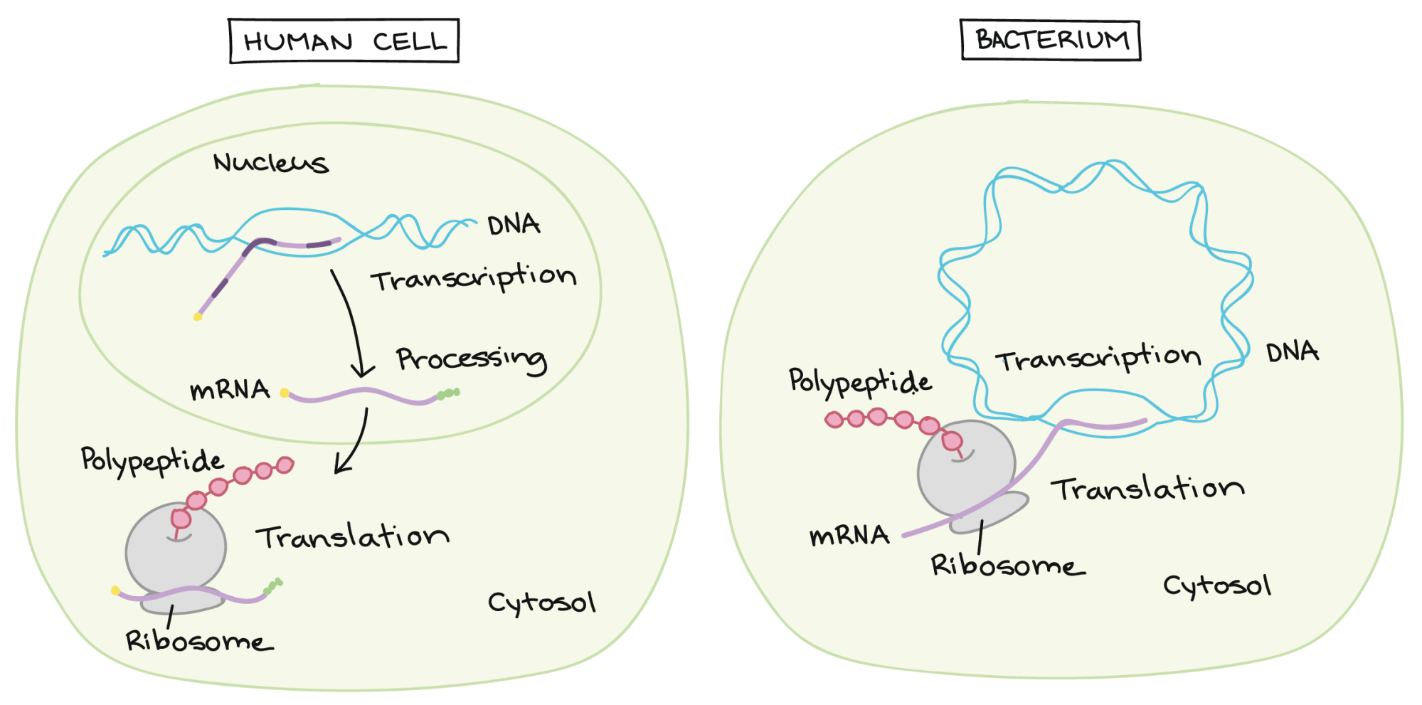 hight resolution of dna replication and rna transcription and translation video khan academy