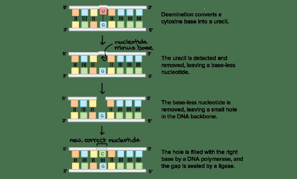 medium resolution of dna replication diagram labeled