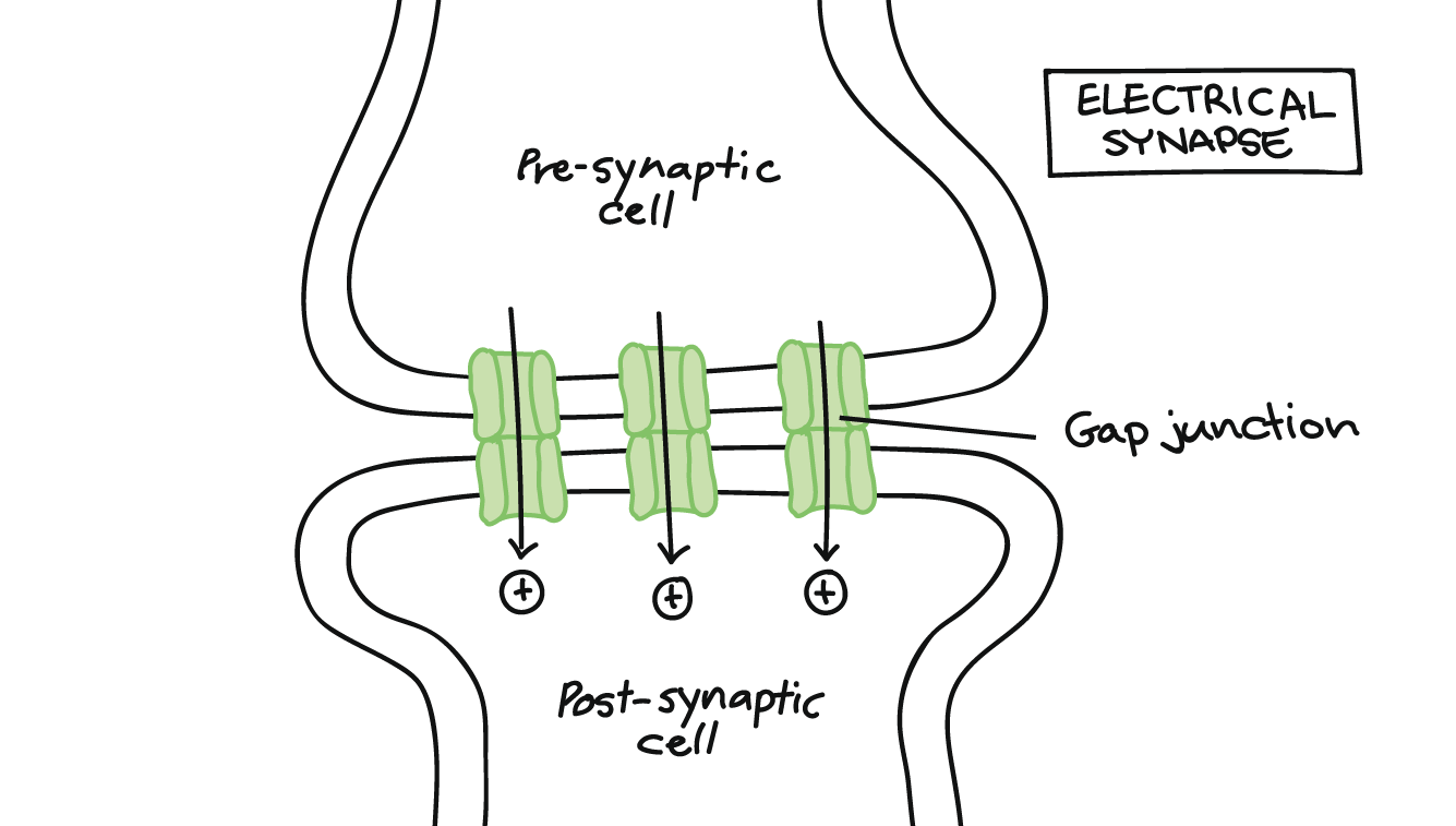 hight resolution of electrical synapse showing presynaptic cell gap junction post synaptic cell and movement