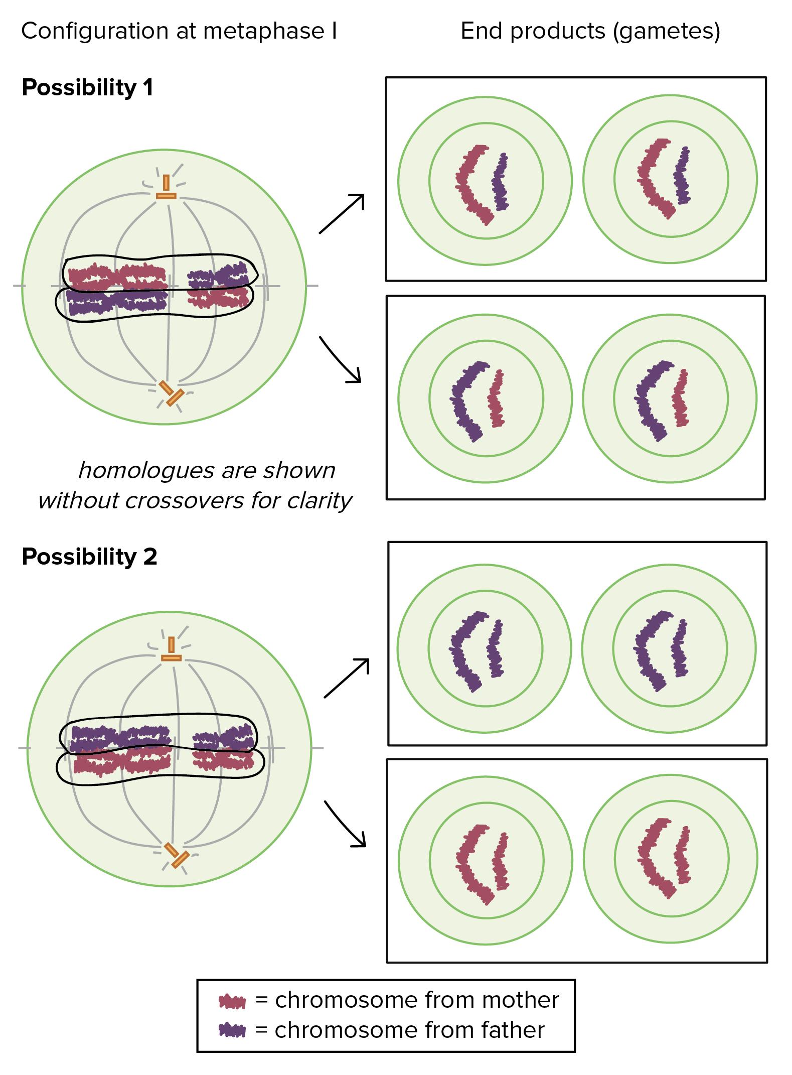 Crossing Over Meiosis Diagram