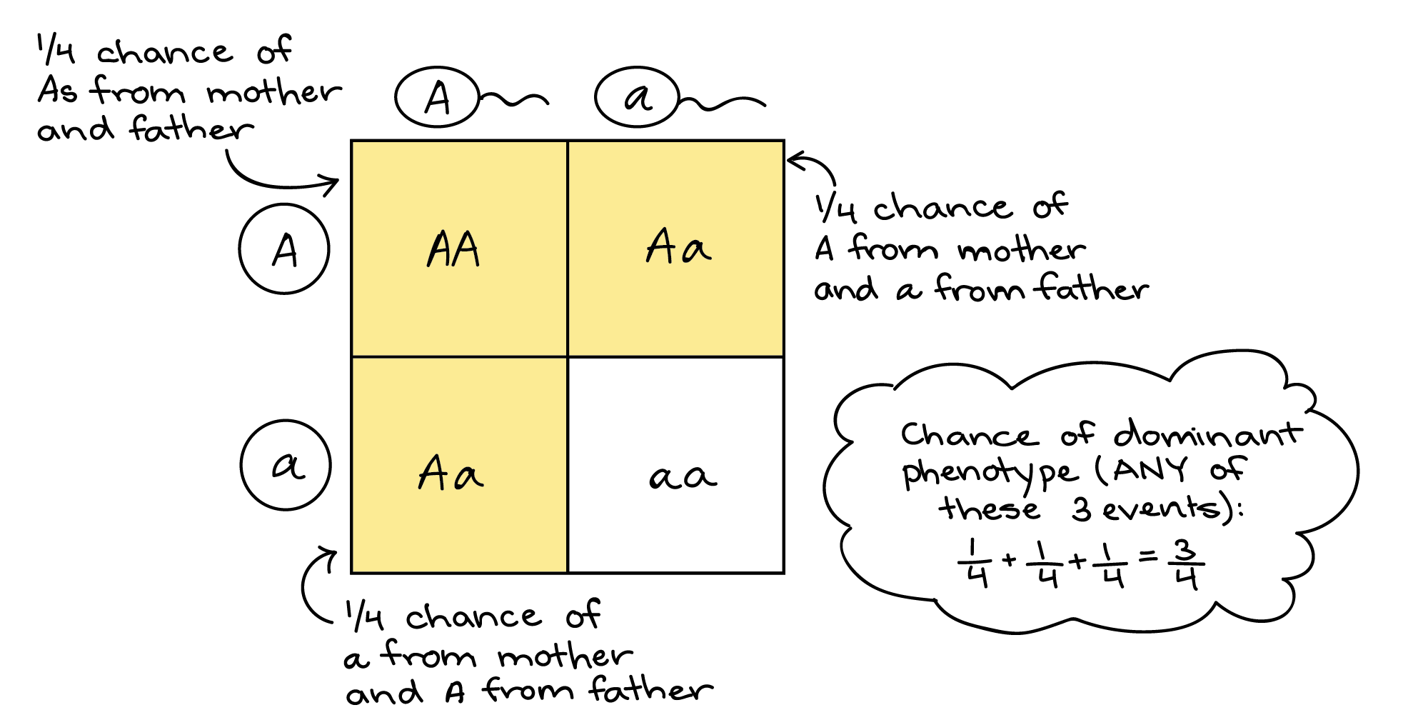 Probability And Punnett Squares Worksheet Answers Genetics Info And Punnett Square Activity For