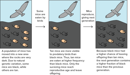 small resolution of  schematic based on similar schematic in reece et al 4 4 4 hawk outline traced from black and white line art drawing of swainson hawk bird in flight