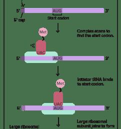 translation mrna to protein video khan academy simple transcription translation dna translation diagram ribosome [ 1669 x 3206 Pixel ]