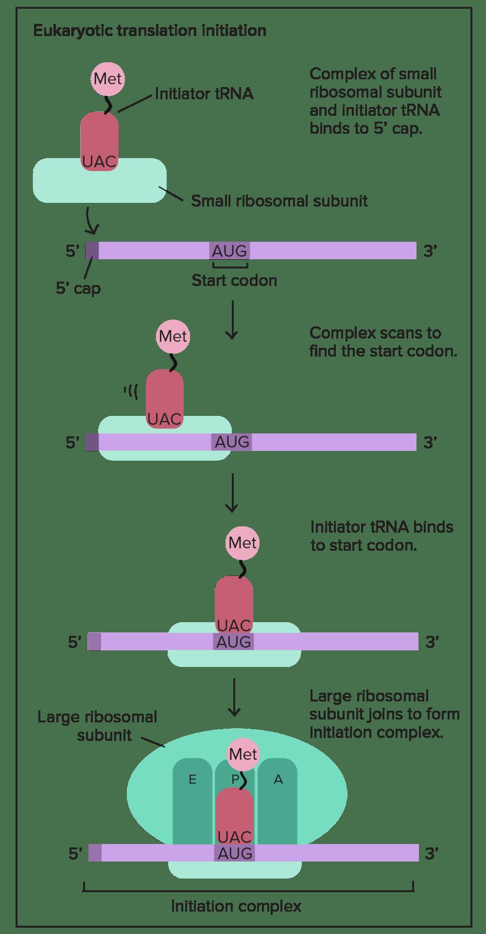 medium resolution of translation mrna to protein video khan academy simple transcription translation dna translation diagram ribosome