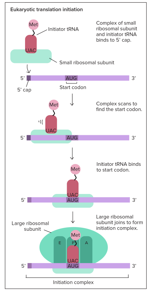 small resolution of translation mrna to protein video khan academy simple transcription translation dna translation diagram ribosome