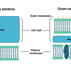 Gram Positive Cell Wall Diagram 2007 Kawasaki Mule 3010 Wiring Most Common Structure Of Bacteria Imagenesmy