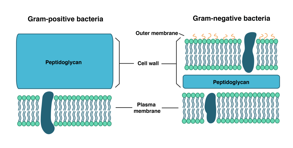 medium resolution of gram positive bacteria have an inner plasma membrane and a thick cell wall composed of