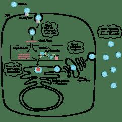 Virus Diagram Worksheet Carrier Split System Wiring Homework Help Science Cycles Of Life