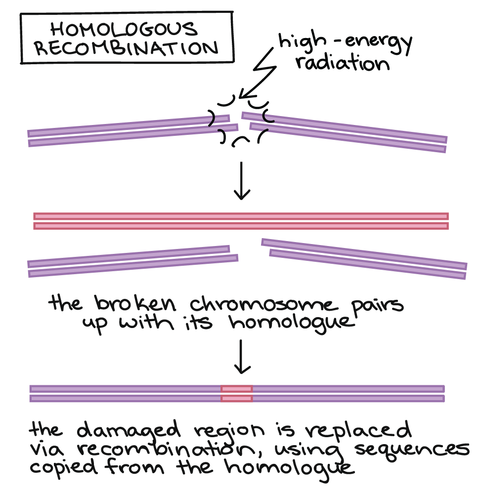 hight resolution of dna replication diagram labeled