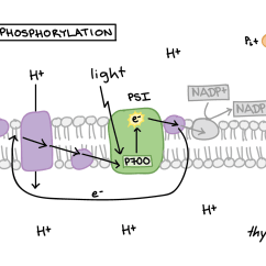 Electron Transport Chain Diagram For Dummies Ford Focus Stereo Wiring 2000 Steps Campbell Best Secret