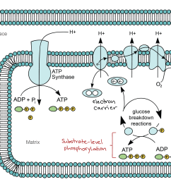 anabolic and catabolic pathway of electron transport in the diagram [ 2646 x 1758 Pixel ]
