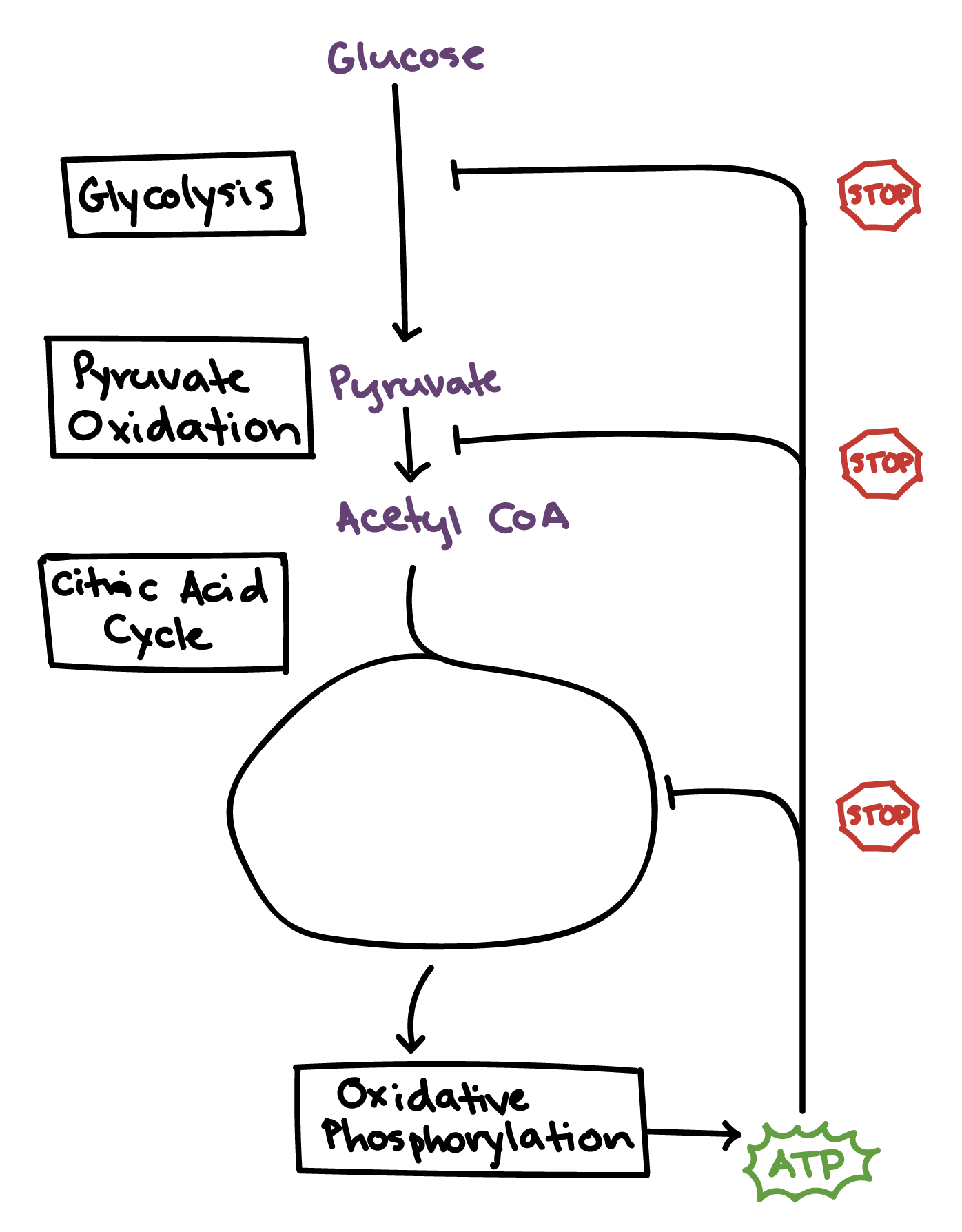 Regulation Of Cellular Respiration