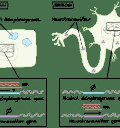 gene diagram [ 1926 x 1442 Pixel ]