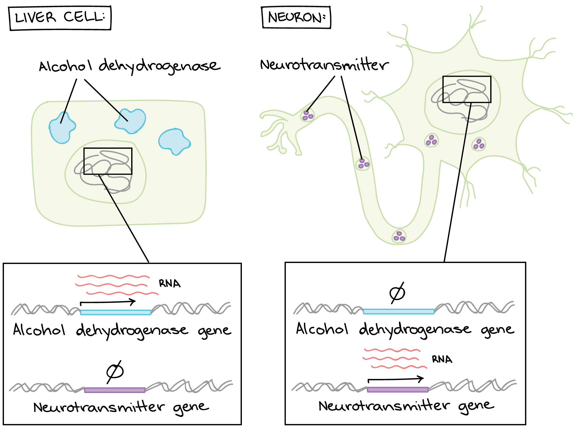 hight resolution of gene diagram