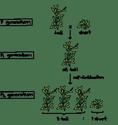 pea plant diagram schema wiring diagrams hybrid pea plant diagram mendel and his peas article [ 1783 x 1154 Pixel ]