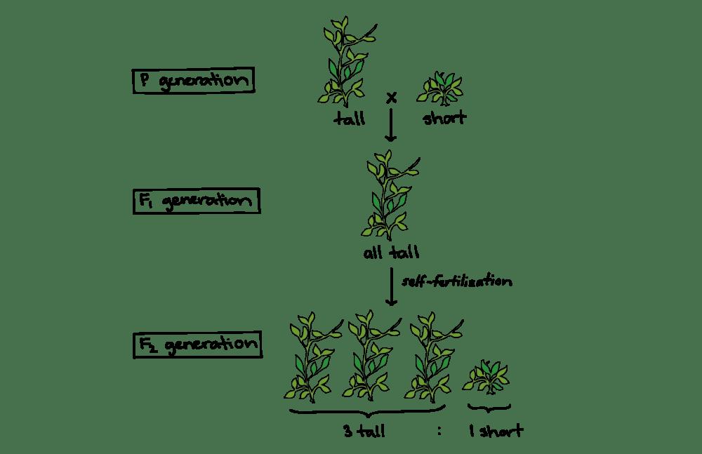 medium resolution of pea plant diagram schema wiring diagrams hybrid pea plant diagram mendel and his peas article