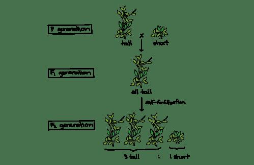 small resolution of pea plant diagram schema wiring diagrams hybrid pea plant diagram mendel and his peas article