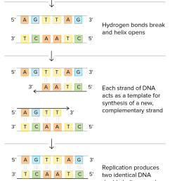 schematic of watson and crick s basic model of dna replication 1 dna double helix [ 1596 x 2414 Pixel ]
