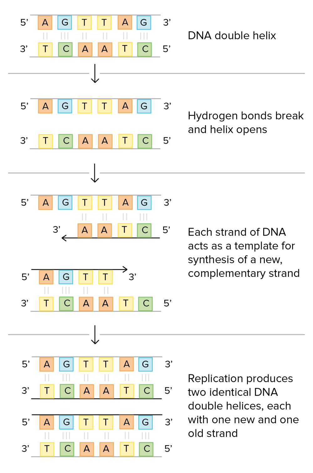 medium resolution of schematic of watson and crick s basic model of dna replication 1 dna double helix