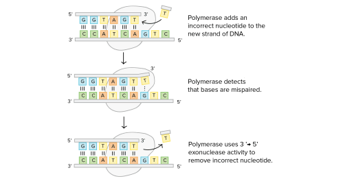 small resolution of dna replication diagram labeled