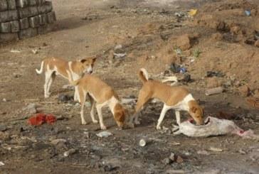 Boké: des chiens errants, un danger pour la population de la préfecture