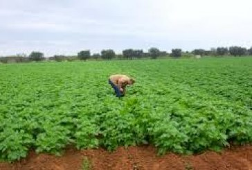 Agriculture-Boké: 83 paysans victimes d'attaques de chenilles dans le périmètre de Batiponà Wamounou