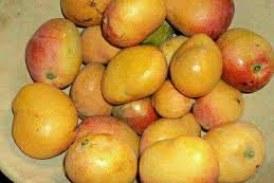 Economie-Boké: il faut 1000 GNF pour se procurer d'une mangue prématurée