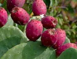 Ekstrak Buah Kaktus Miliki Manfaat Besar untuk Kulit, Obati Jerawat