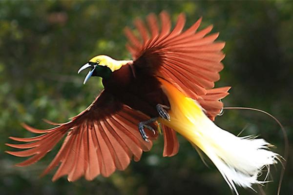 85 Gambar Hewan Burung Cendrawasih Terbaik