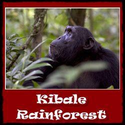 kibale-rainforest