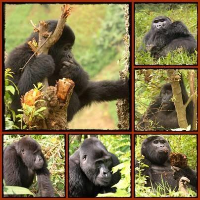 3 Gorilla Groups to Trek in the Nkuringo Area-Bwindi Impenetrable Forest