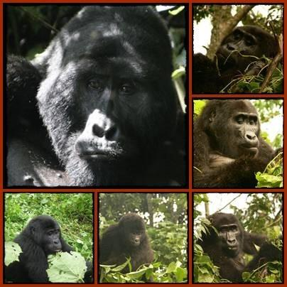 Gorilla - Chimpanzee - Wildlife Safari - Uganda