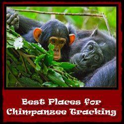 Chimpanzee Trekking - Habituation Experience Information-Tips-Advice