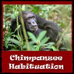 Chimpanzee-habituation-experience