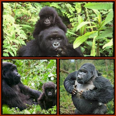 Gorilla Trekking in Volcanoes National Park - Rwanda