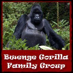 Bwenge Gorilla-Group
