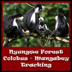 Nyungwe-Colobus-Mangabey-Tracking