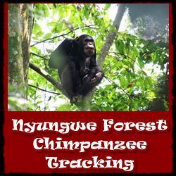 Nyungwe-Forest-Chimpanzee-Tracking