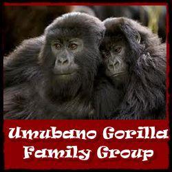 Umubano-Gorilla-Group