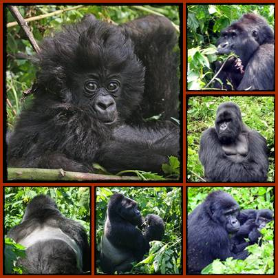 Gorilla - Chimpanzee - Wildlife Adventure Safari