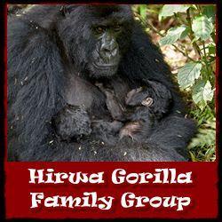 hirwa Gorilla-Group