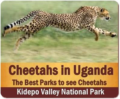 The Carnivores found in Uganda-the Pearl of Africa