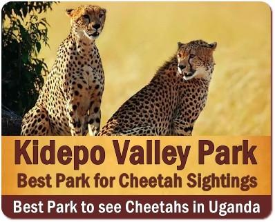 Best Wildlife Parks  to see Cheetahs in Uganda-the Pearl of Africa