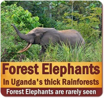 Best Places to see the African Forest Elephants in Uganda's Rainforests