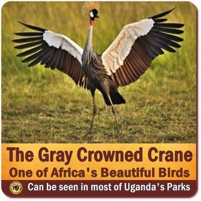 Grey Crowned Crane is the National Bird of Uganda