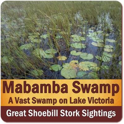 Mabamba Swamp the Best Place for seeing Shoebill Storks