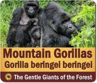 Comparing Gorilla Trekking - Uganda versus Rwanda versus DR Congo