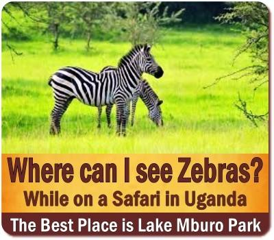 Best Places to see Zebras in Uganda -