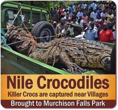 The very Best Places to see Nile Crocodiles in Uganda